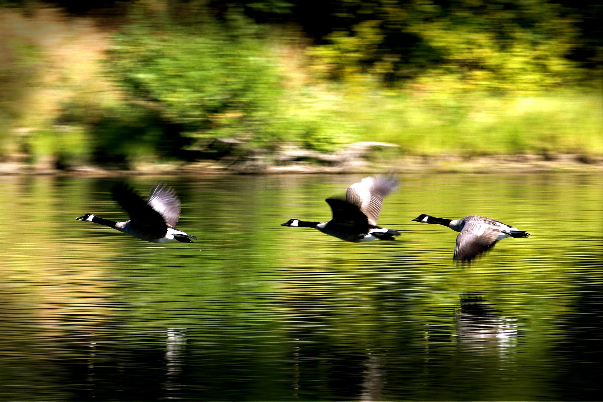 ducks-273351_1920